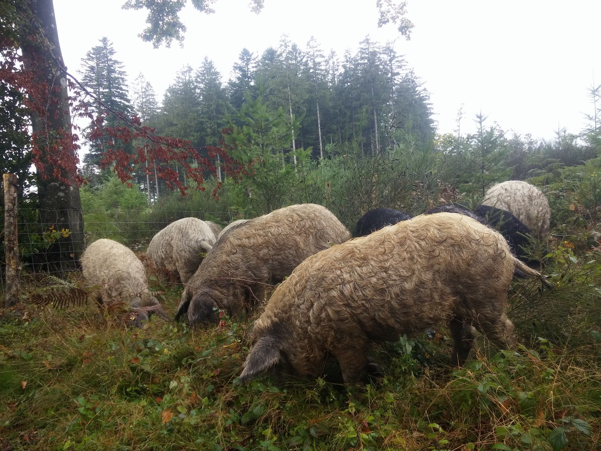 Cochons-Mangalica-Domaine-du-Catie-2.jpg