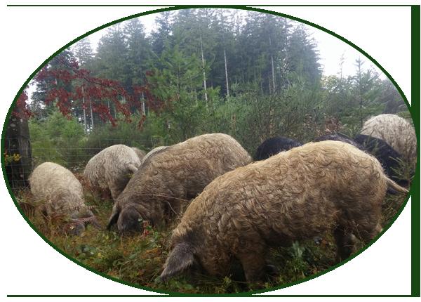 L'alimentation des cochons laineux