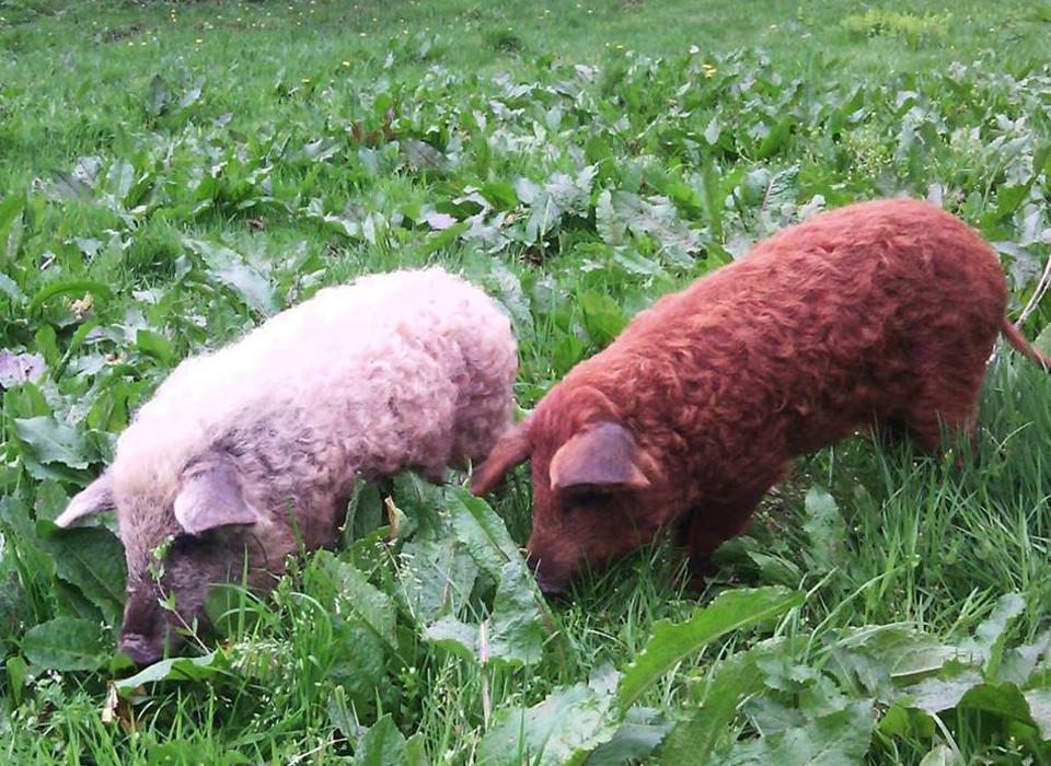 Elevage de cochons laineux